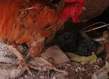 دجاج وديوجه صحه 100% مال بيت