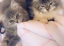 قطط اناث هجين همالايا وبيكي فيس
