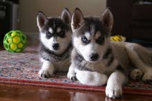 siberian husky puppies please just drop your number i will contact you