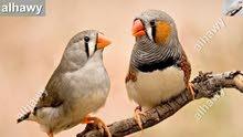 طيور جنه زيبرا للبيع