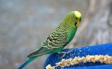 pirouch طائر الخب او البادجي