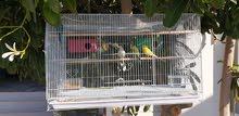 زوجين من طيور البادجي مع قفصين و2 اعشاش للبيض