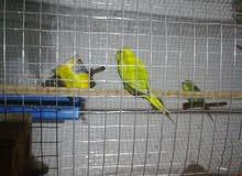 عصافير الحب للبيع الجوز 9 دنانير منتجات بسعر مغري