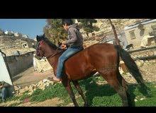 حصان ماشالله صغير بلعمر ونضيف للبيع موجود بجبل النصر.  0785197714