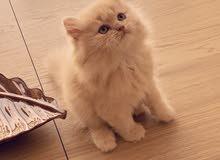 قطة شيرازيه فارسي