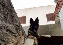 كلب جيرمن شيبرد عمر 9 شهور German Sphered Dog 9 Month Ago