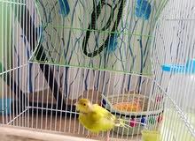 طيور الحب مع كناري شيرازي