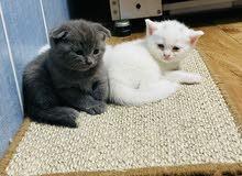 British Scottish Kitten