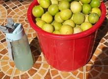 شتلات ليمون عماني موسم الزراعة بداء لا تفوتو الفرصة ليمون مثمر طول السنةذ؛بركاء
