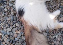 قطه شيرازي أنثى