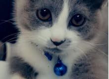 قطة أنثى هجين شيرازي،فرنسي