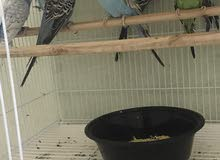 بادجي طيور حب للبيع