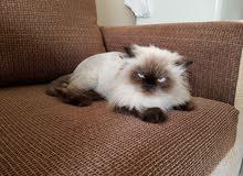 قطة انثى هيملايا شوكلات