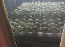 يوجد لدينا بيض فري مخصب بزرة سوبر جامبو تخصيب 100/100 وبيض فيومي