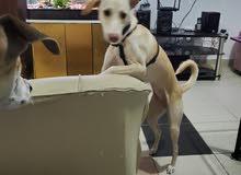 كلب لبرادور مكس Labrador mix with microship female