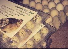 بيض دجاج محلي ملقح وبيض السمان ملقح للبيع