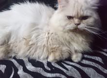 قطه هيمالايا العمر 1.5 سنه تقريبا الصحة ميه بالميه لعوبه