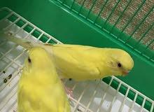 طيور الحب ( هولندي ) مميزه جدا من انتاجي