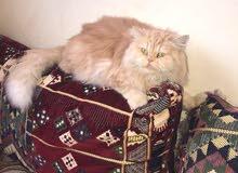 للبيع قطه انثى شيرازي