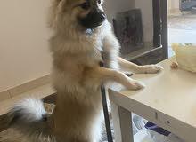 كلب بوميريان سبيتز. الفخامة