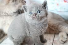 British short hair kitten by german breeder in dubai open for bookig