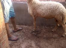 للبيع غنم تربية البيت لحم او قنية سعر الكيلو 65جنيه