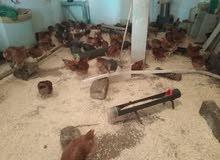 بيع الدجاج كروازي بيوكرى اشتوكة ايت باها