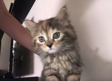 قطط للبيع انثى