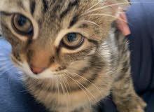 Scottish Kitten hot deal