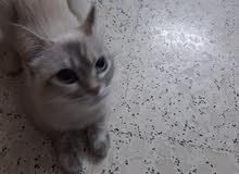 قطة انثى راغدول عمر سنة هادئة