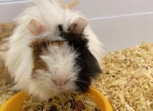 للبيع Guinea pig