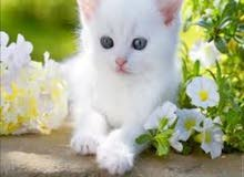 كتن جميل خالي من فطريات عيون زرقا عمرشهرونص