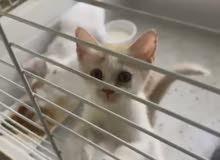قطط شيرازي تركي. العمر شهر واحد