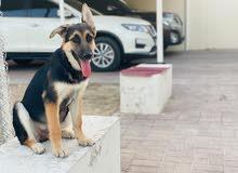 4 month : German Shepherd Female