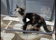 القط انثى للبيع