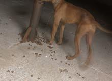 كلب بتبل بلاك نوز