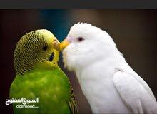 مطلوب زوج طيور الحب