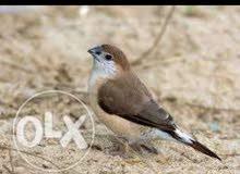 طيور زيبرا عماني محلي للبيع