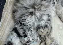 قطة شانشيلا تايجر من انقى السلالات