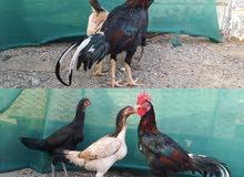 دجاج باكستاني شنقرا