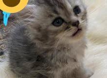قطط شيرازي للبيع بعد عشر ايام بيكملو شهرين