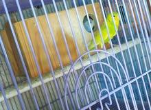 سلام عليكم زوج طيور حب دبل كرست كورك سبانجل سعر 65 جاهزات حالياً داخلات بيت عنوا