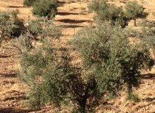 مزرعة 8،793 دونم للبيع الدقمسة بين جرش ورحاب