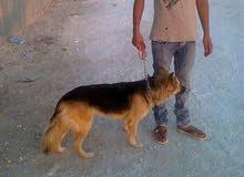 عندي كلبه بلجيكي نبو كلب ولف كويس