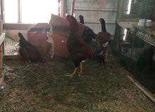 دجاج هندي رس قوي واصلي