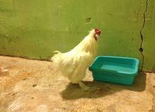 ديجين ودجاجه كوجن