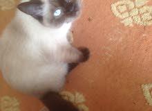 قطه سيامى