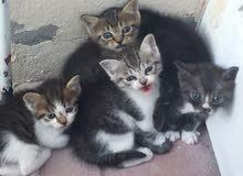 قطط من اصل إيراني