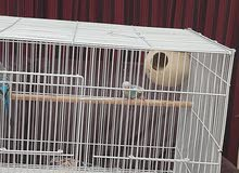 budgie (pairs) for sale