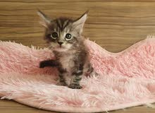 Pure breed maine coon kitten with pedigree silver color